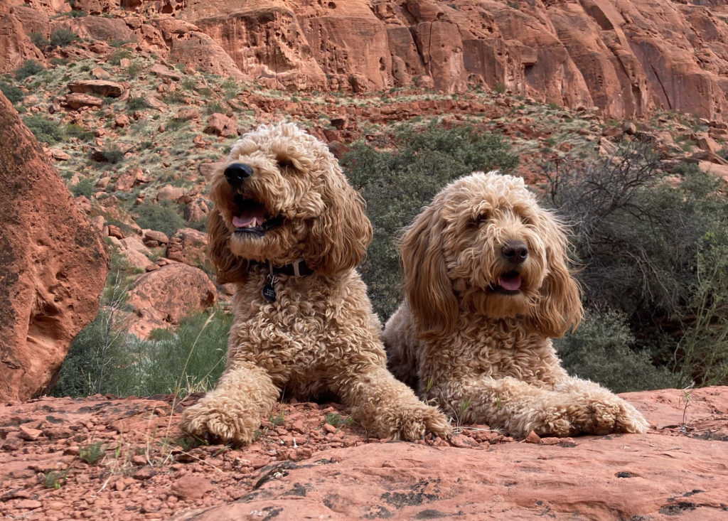 Dogs playing the role of Sandy